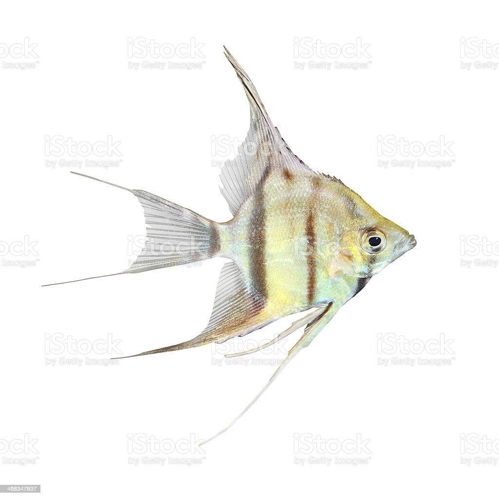 Freshwater Angelfish. royalty-free stock photo