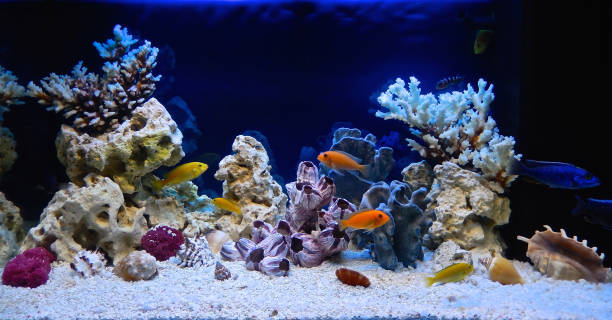 Freshwater aquarium decorated in a pseudo-marine style Freshwater aquarium decorated in a pseudo-sea style. Aquascape and aquadesign of aquarium freshwater fish stock pictures, royalty-free photos & images