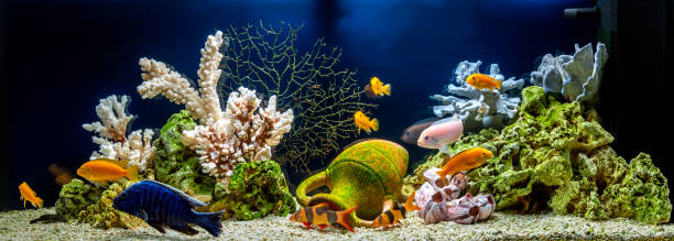Freshwater aquarium in pseudo-sea style. Aquascape and aquadesign of aquarium Freshwater aquarium with cichlids in style - pseudo-sea. Aquascape and aquadesign of aquarium freshwater fish stock pictures, royalty-free photos & images