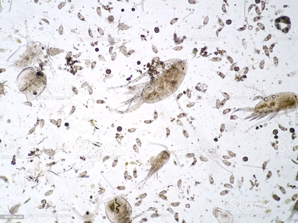 Freshwater aquatic zooplankton under microscope view stock photo