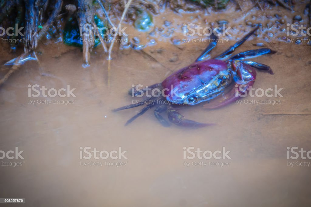 Freshwater crab or rice field crab (Somanniathelphusa) that can be found in fresh water in rivers, canals or in rice fields. stock photo
