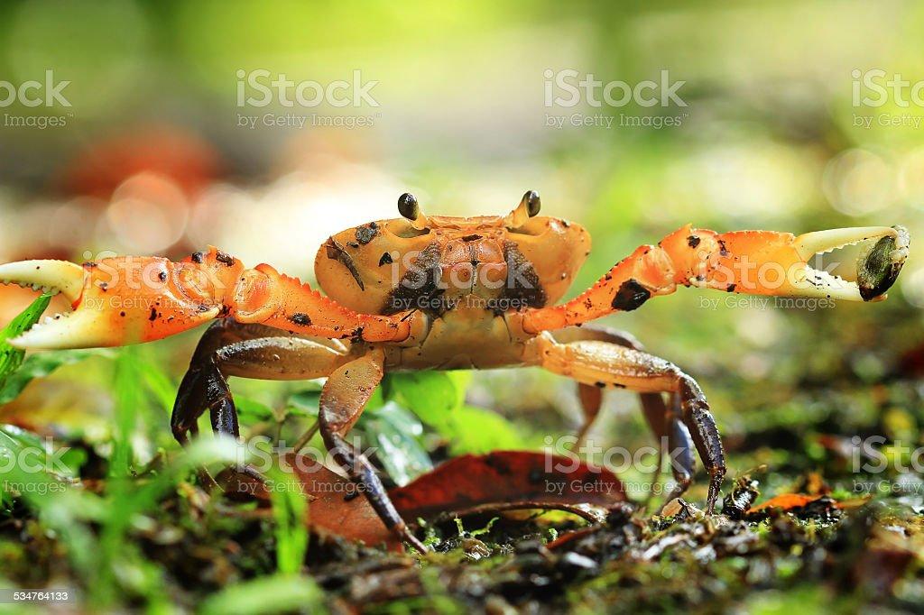 Freshwater crab stock photo