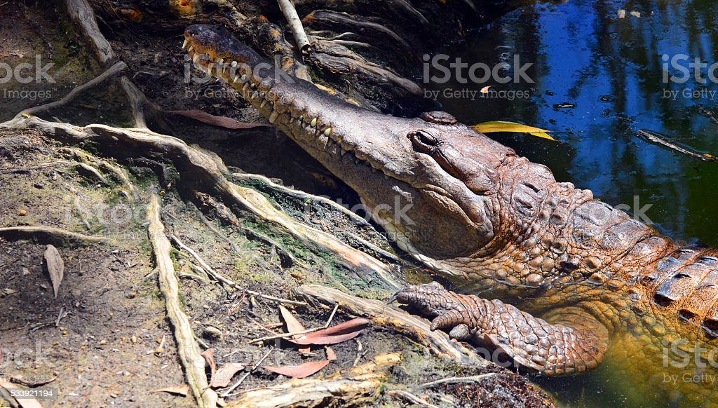 Freshwater crocodile face in a river bank stock photo