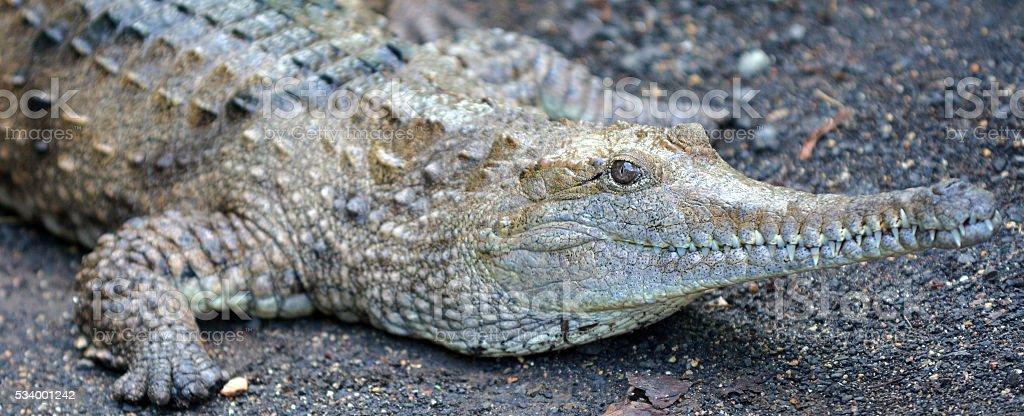 Freshwater crocodile face stock photo
