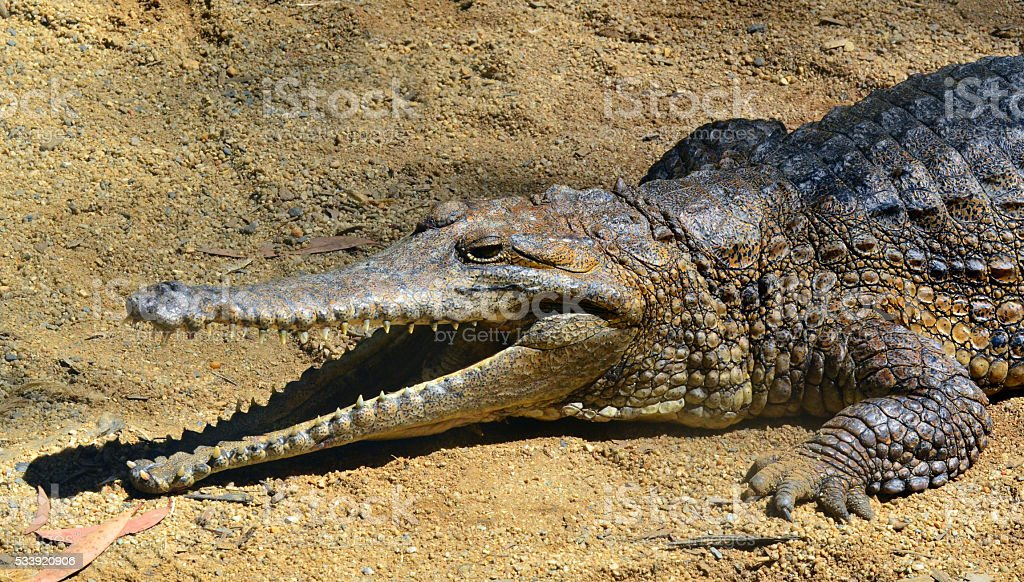 Freshwater crocodile face with his jaws open stock photo