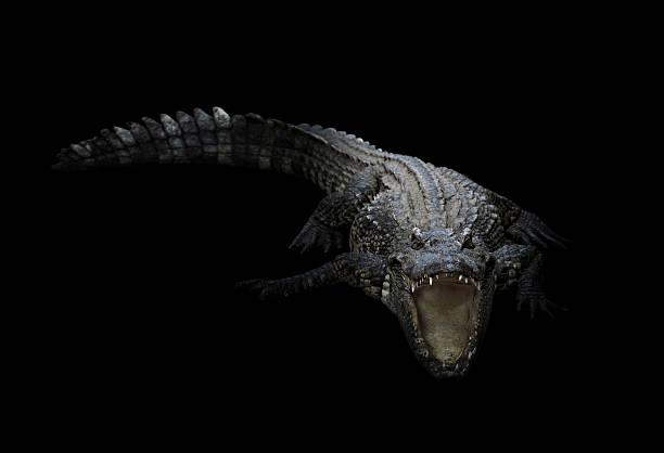 freshwater crocodile in the dark - Photo