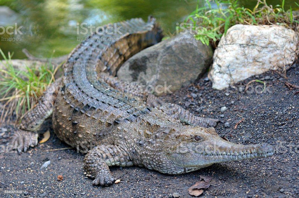 Freshwater crocodile on a river bank stock photo
