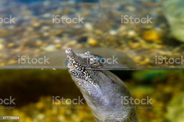 Freshwater exotic chinese softshell turtle picture id477739334?b=1&k=6&m=477739334&s=612x612&h=oey4umtenalsrccnaa6amrooobyog ehcmrzzi kxqi=