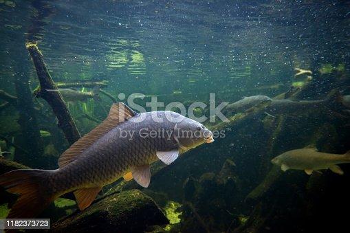 istock Freshwater fish carp (Cyprinus carpio) in the pond 1182373723