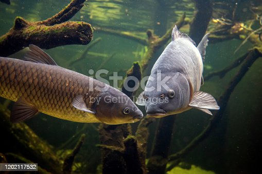 istock Freshwater fish carp (Cyprinus carpio) in the pond 1202117532