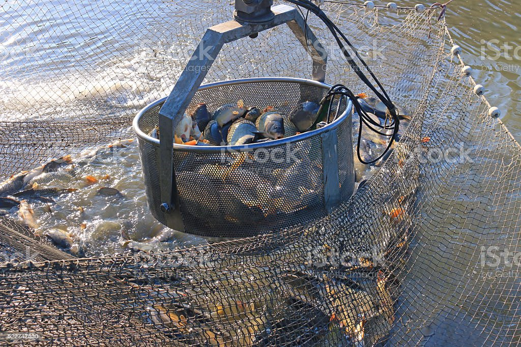Freshwater fish from the fish pond stock photo