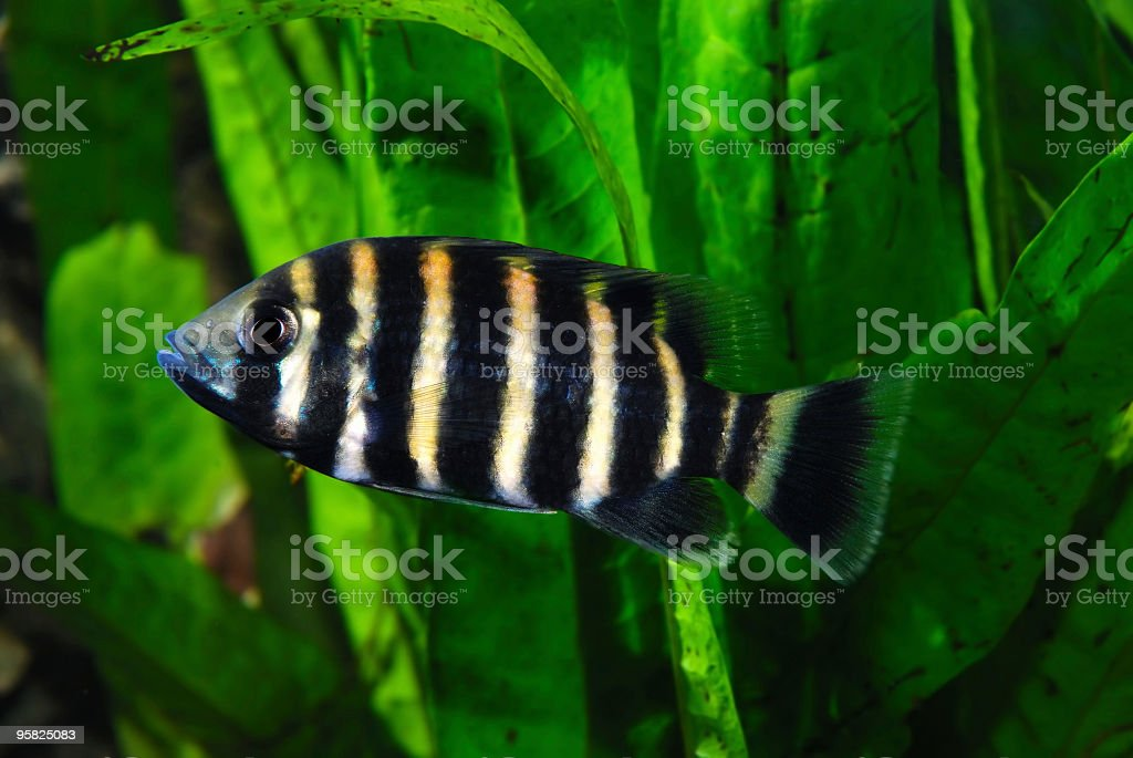 Freshwater Fish in Aquarium stock photo