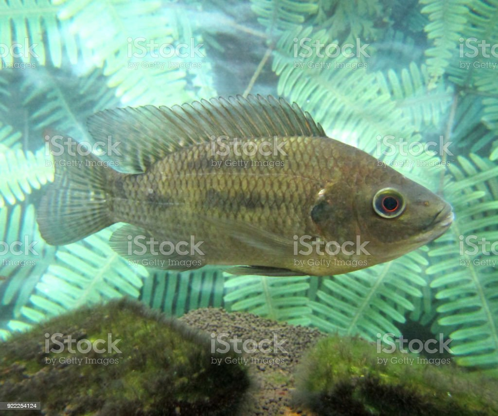 freshwater fish in Japan stock photo