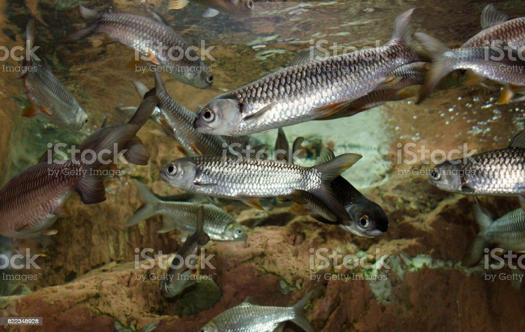 Peixes de água doce em Thaialnd. - foto de acervo