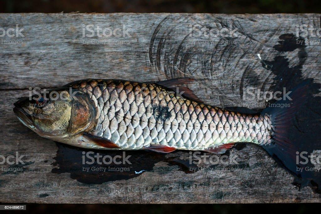 Freshwater fish of Thailand, Hampala barb stock photo
