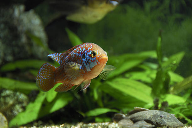 peixe de água doce - organismo aquático - fotografias e filmes do acervo