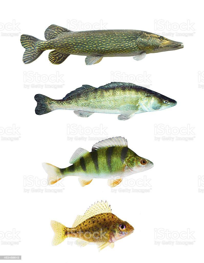 Freshwater fish. royalty-free stock photo