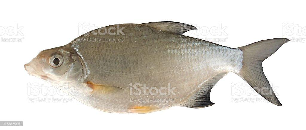 Freshwater fish (Blicca bjorkna) royalty-free stock photo