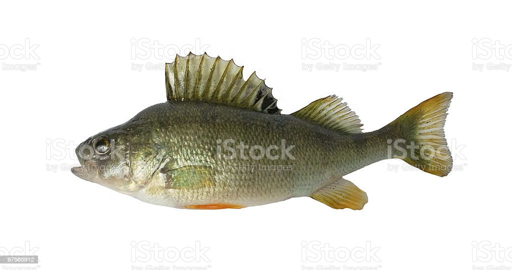 Freshwater fish (Perca fluviatillis) royalty-free stock photo