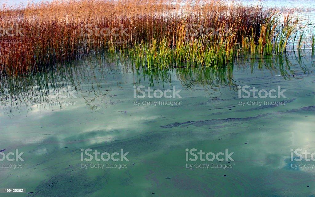Freshwater Lake with a dense bloom of green algae. stock photo