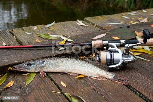 923691568istockphoto Freshwater pike and fishing equipment lies 918949662