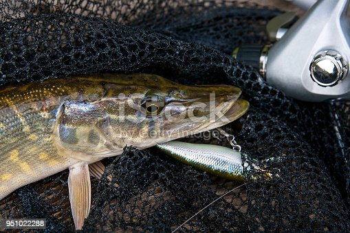 923691568istockphoto Freshwater pike with fishing lure in mouth 951022288
