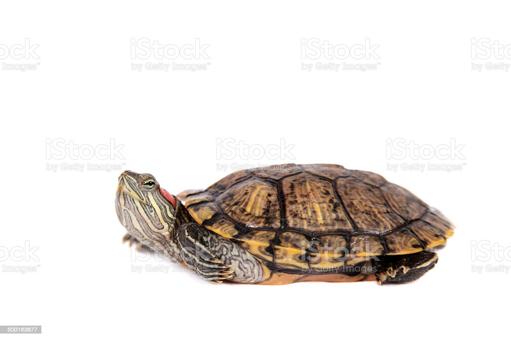 Freshwater red-eared turtle on white stock photo
