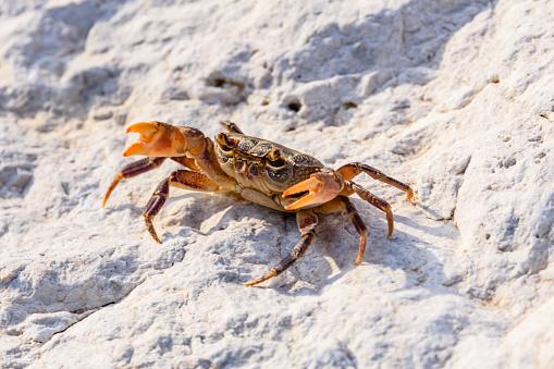 Freshwater river crab (Potamon ibericum) on stone