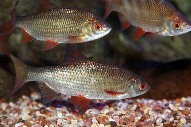 Freshwater roach fish (Rutilus rutilus) stock photo