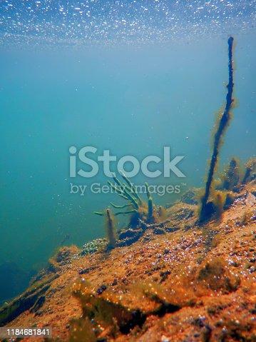 istock Freshwater Sponge (Spongilla lacustris) Spongillidae Freshwater Underwater 1184681841