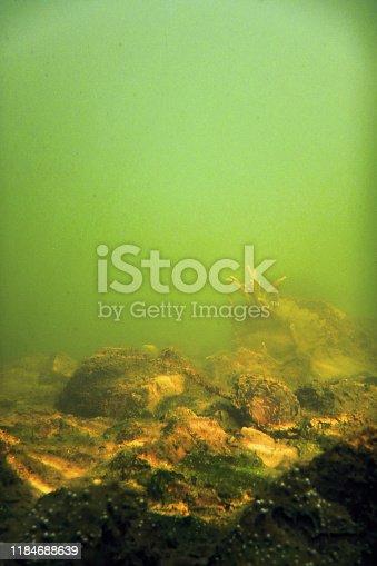 istock Freshwater Sponge (Spongilla lacustris) Spongillidae Freshwater Underwater 1184688639