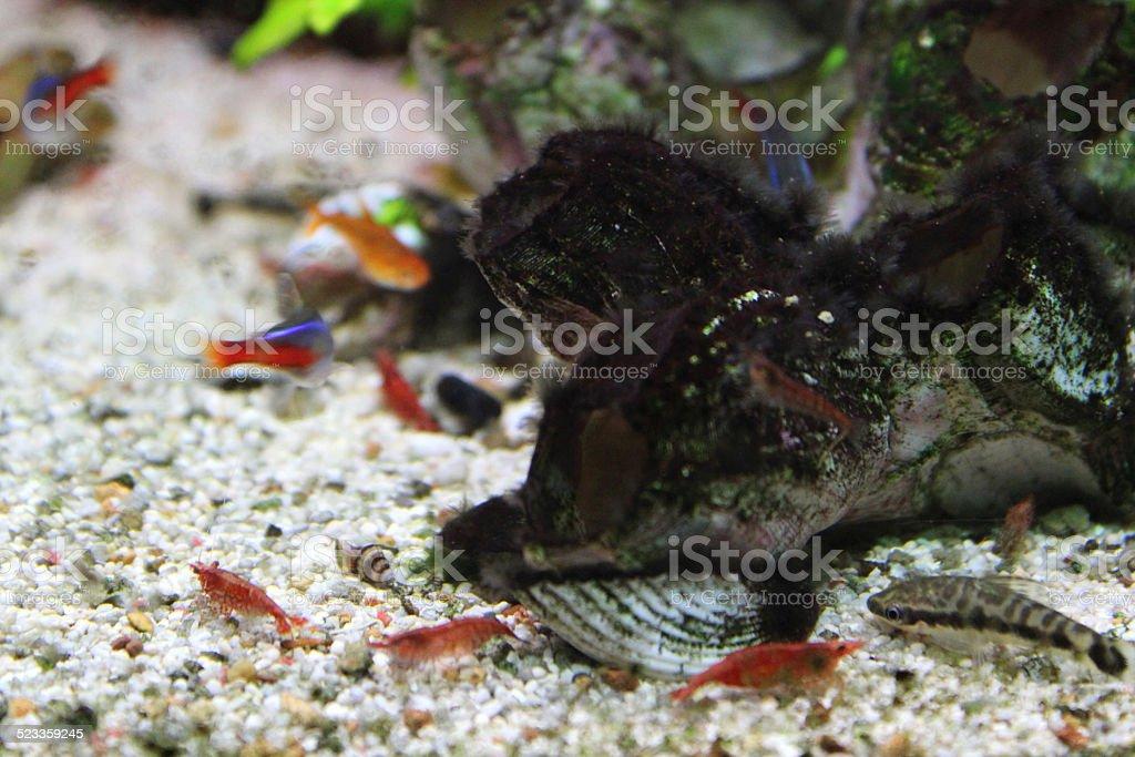 Photo de aquarium de poissons tropicaux deau douce for Poisson tetra rouge
