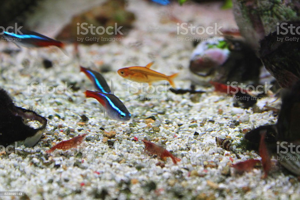 Freshwater Tropical Aquarium Fishtank Red Cherryshrimp Neon Tetra