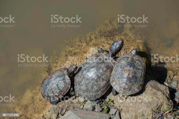 Freshwater turtle near the pond picture id961101930?b=1&k=6&m=961101930&s=612x612&h=t xu7juenezwob9d8yllctdxizbtm88pgjkqeijjca8=