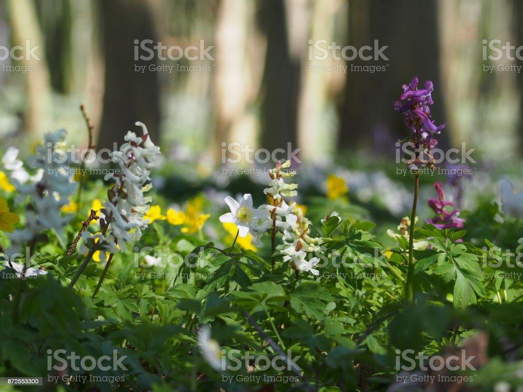Frühling im Wald, hohler Lerchensporn, Anemone stock photo