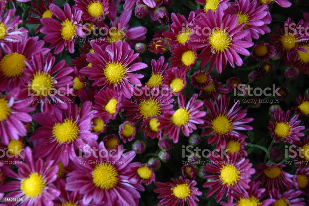 Frühlingsblume in Spanien - Mittagsblume foto de stock libre de derechos
