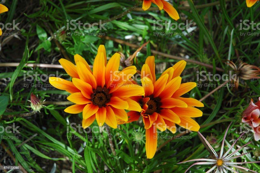 Frühlingsblume in Spanien royalty-free stock photo