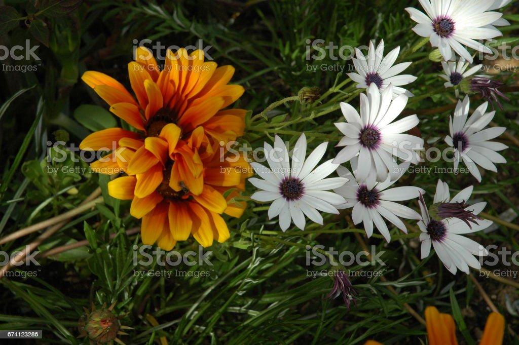 Frühlingsblume in Spanien 免版稅 stock photo