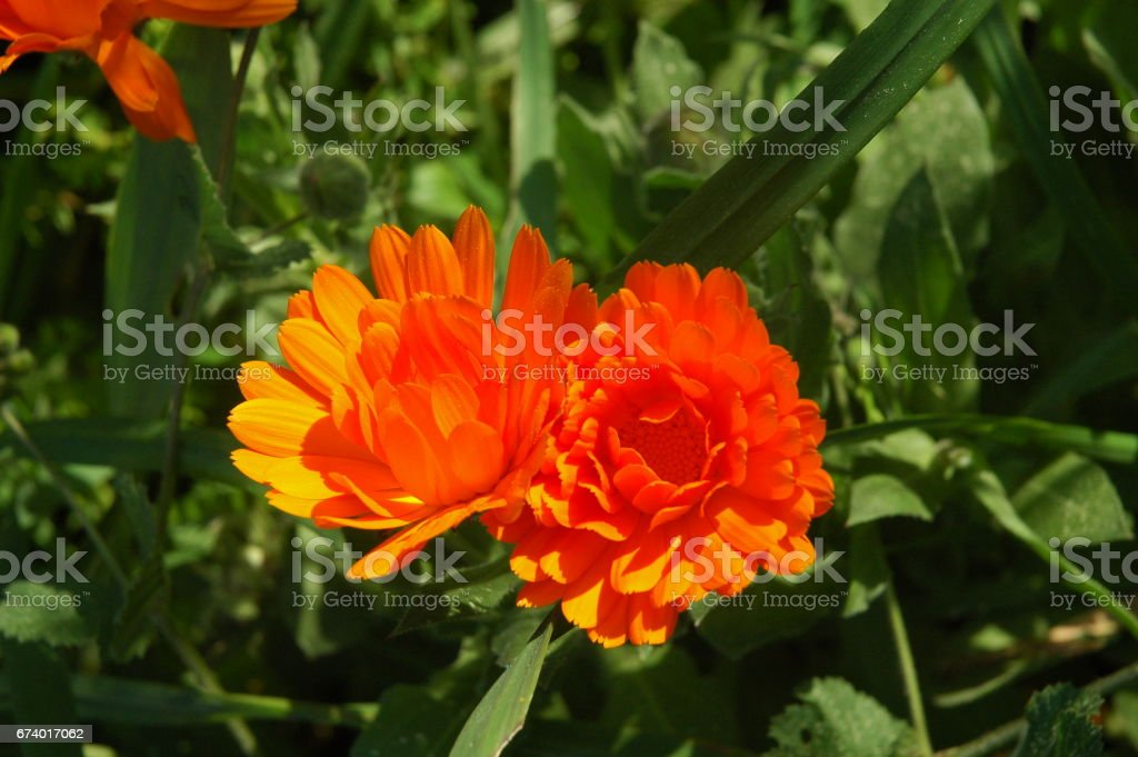 Frühlingsblume in Spanien - Ringelblume royalty-free stock photo