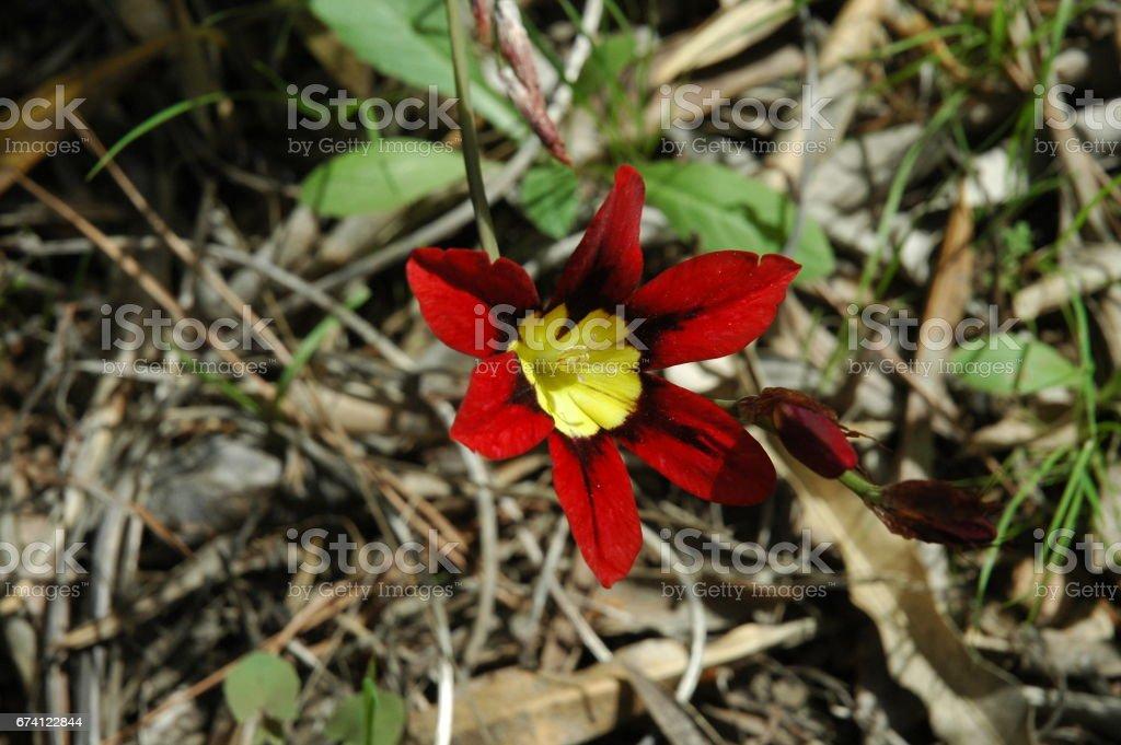 Frühlingsblume in Spanien - Saat Gladiole 免版稅 stock photo