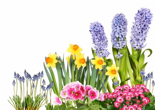 frühlingsblumen - plante à bulbe photos et images de collection