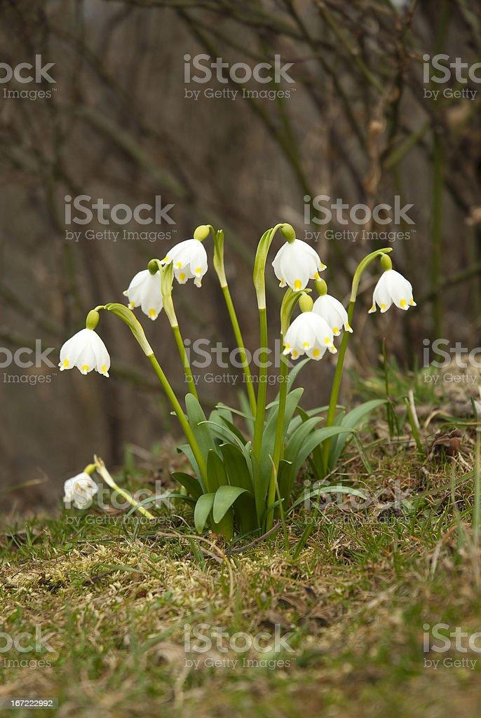 Frühlingsknotenblume stock photo