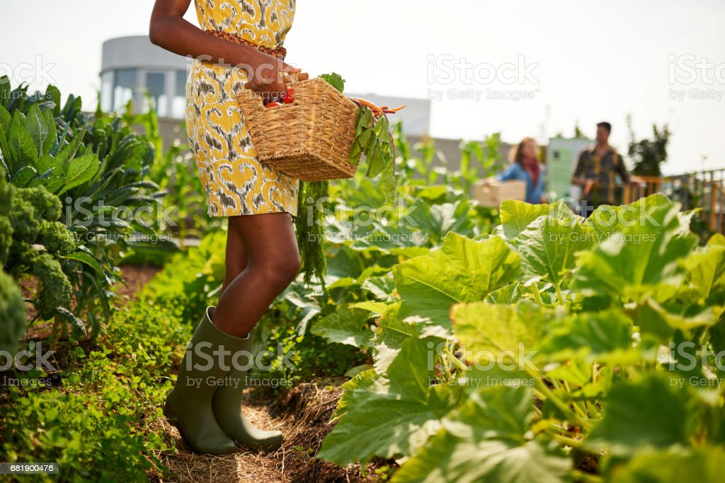 Friendly african american woman harvesting fresh vegetables from the rooftop greenhouse garden - foto de acervo