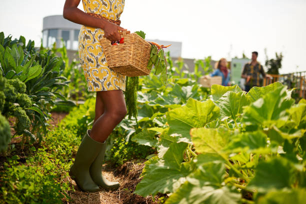 Friendly african american woman harvesting fresh vegetables from the rooftop greenhouse garden Leg details of black female gardener tending to organic crops at community garden and picking up a basket full of produce community garden stock pictures, royalty-free photos & images
