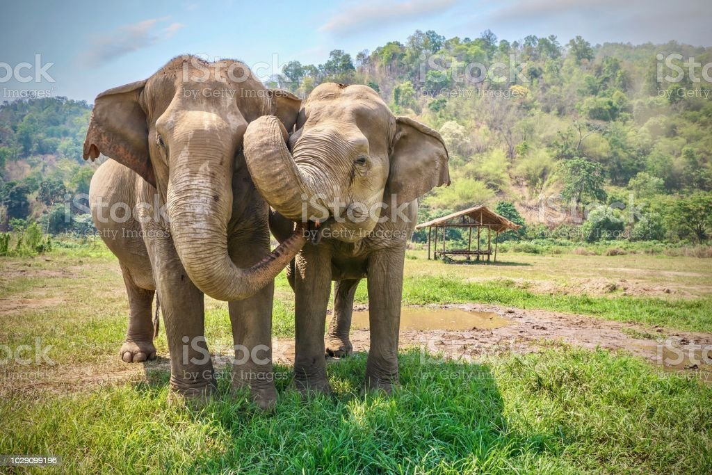 Friendly and affectionate animal behavior as two adult female Asian elephants (elephas maximus) touch each other with their trunks and faces. Rural northern Thailand. stock photo