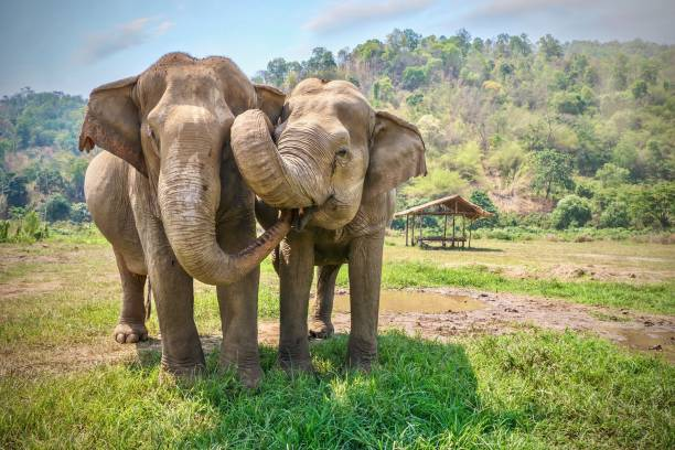 friendly and affectionate animal behavior as two adult female asian elephants (elephas maximus) touch each other with their trunks and faces. rural northern thailand. - animals in the wild stock pictures, royalty-free photos & images