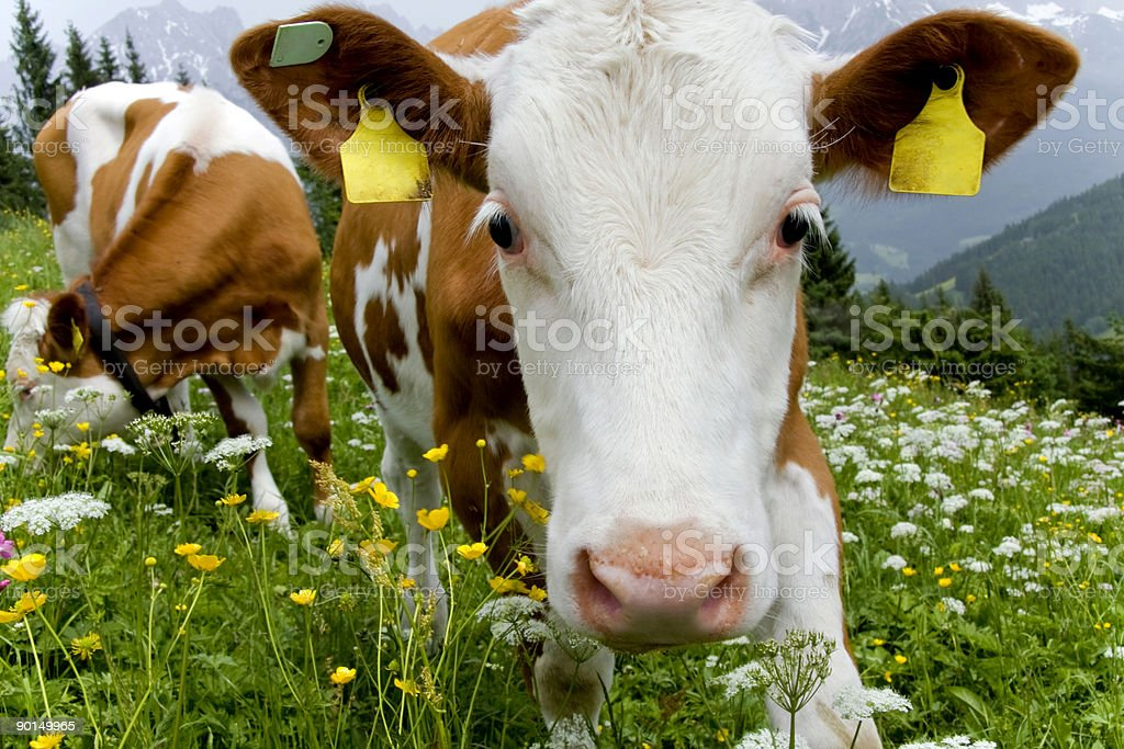 Friendly cows grazing in a meadow royalty-free stock photo