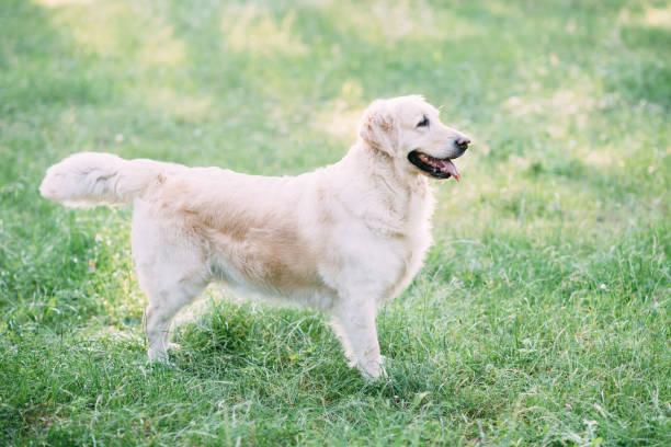 Friendly dog retriver spends an active time on the nature in the of picture id1059050096?b=1&k=6&m=1059050096&s=612x612&w=0&h=4nwovhhrpbzqrvkvfxs1ybyfvntqebzfp0pu gr4cmq=