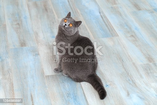 Friendly domestic cat, beautiful grey fluffy cat on a blue flooring