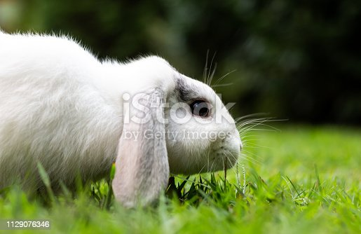 istock Friendly dwarf rabbit in the grass looking into the camera 1129076346